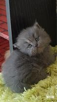 فروش گربه پرشین اشرافی اصیل