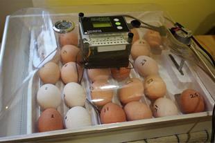 تخم نطفه دار انواع طیور و پرنده زینتی