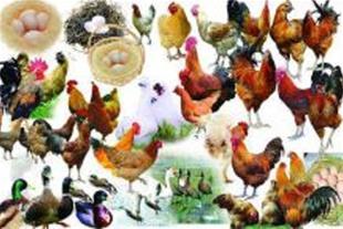 تخم نطفه دار انواع طیور و پرنده زینتی به کل کشور