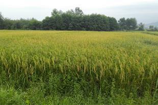 فروش زمین شالی کاری ( مزرعه برنج )