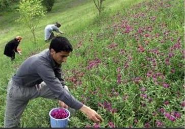 آموزش کاشت و پرورش گیاهان دارویی - 1