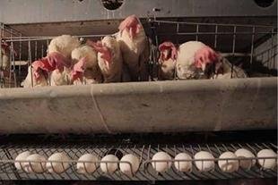 آموزش مدیریت مرغ تخم گذار و پولت