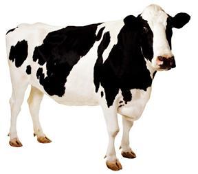 آموزش پرورش گاو شیری و تلیسه - 1