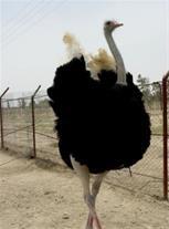 آموزش پرورش شترمرغ مولد