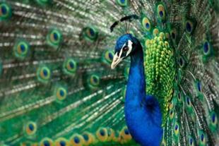 فروش تخم طاووس