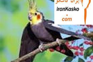 فروش تخم نطفه دار طاووس و طوطی