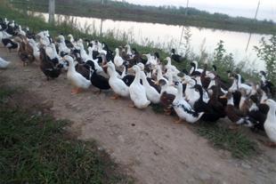 فروش اردک گوشتی