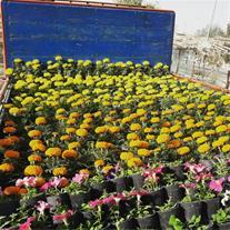تولید گل فصلی اصفهان سبز