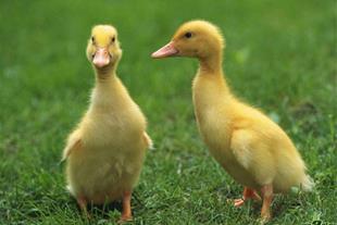 دی وی دی آموزشی پرورش غاز و اردک