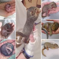 بچه سنجاب شیر خاره 45 روزه