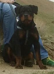 فروش سگ روتوایلر - 1