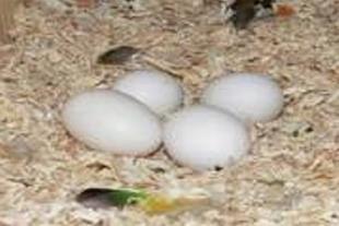 فروش تخم نطفه دار طوطی کاسکو