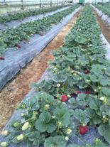 فروش نشاء توت فرنگی چهار فصل با نازلترین قیمت