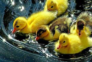 جوجه اردک یک روزه