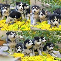 فروش توله سگ هاسکی