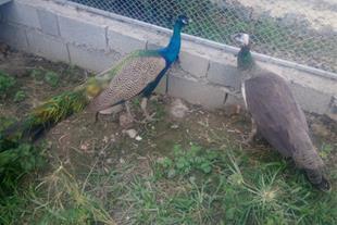 خرید و فروش تخم طاووس