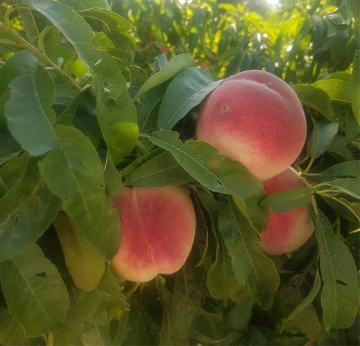 تولید نهال پیوندی ، فروش نهال میوه کلی وجزئی - 6