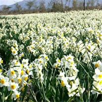 فروش گل نرگس صدرا  به صورت عمده در  سراسر کشور