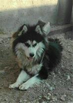 فروش انواع سگ شکاری و نگهبان و سگ هاسکی