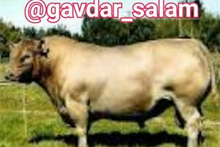 آموزش پرورش گاو شیری