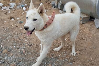 سگ هاسکی سیبرین - 1
