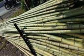 فروش چوب بامبو ( چوب نی خیزران )
