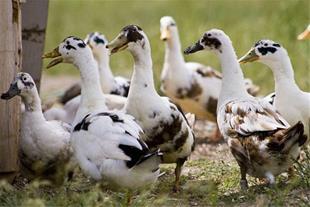 فروش اردک محلی (ارگانیک) بالغ و جوجه