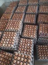 فروش تخم نطفه دار مرغ بومی