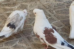 فروش کبوتر نوک قنار