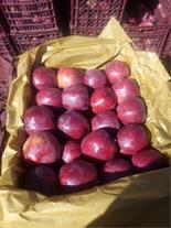 فروش سیب درختی