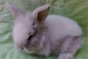 فروش بچه خرگوش لوپ سفید