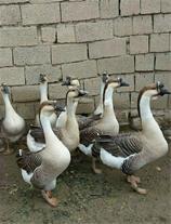 فروش اردک پیکنی و دورگ بزرگ