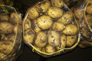 خرید و فروش سیب زمینی درجه یک و صادراتی همدان