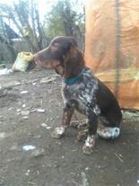 فروش سگ ستر نر و ماده - سگ شکاری