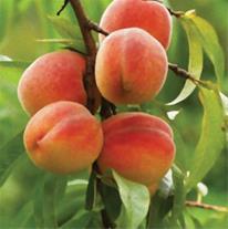 نهال میوه پیوندی و اصلاح شده