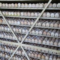 فروش ویژه جوجه یکروزه مرغ محلی نژاد گلپایگان وجهاد