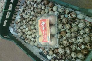 تخم نطفه دار بلدرچین تخم خوراکی ،مرغ بومی