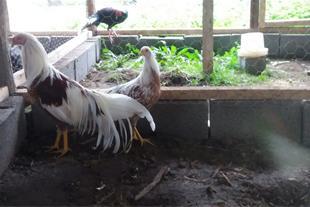 فروش یک جفت مرغ و خروس یوکوهاما