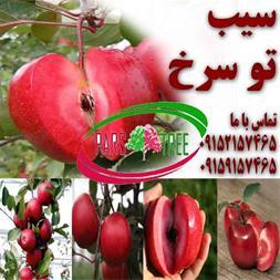نهال  سیب توسرخ - 1