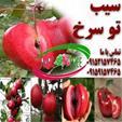 نهال  سیب توسرخ