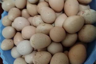 تخم کبک خوراکی