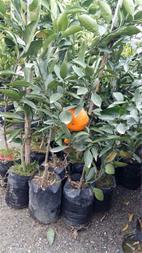 فروش انواع نهال درخت میوه - 1