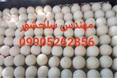 تخم خوراکی و نطفه دار کبک مهندس سلحشور09905262856