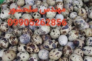 تخم بلدرچین نطفه دارخوراکی مهندس سلحشور09905262856