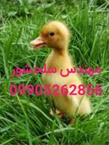 جوجه اردک پکنی و ورامینی مهندس سلحشور09905262856
