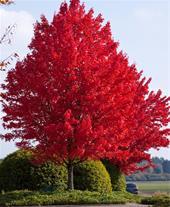 فروش انواع درخت ( درخت جنگلی , درخت سایه انداز )