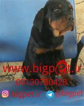 فروش سگ روتوایلر بچه های فیلیکس