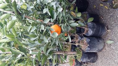 فروش نهال نارنگی - 1