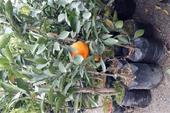 فروش نهال نارنگی