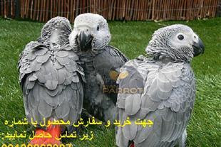 فروش قابل اعتمادترین تخم های نطفه دار کاسکو